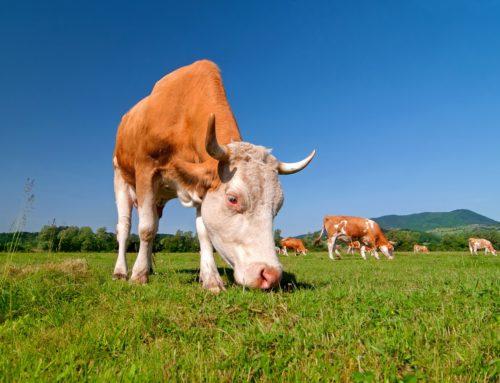 Mliječne krave